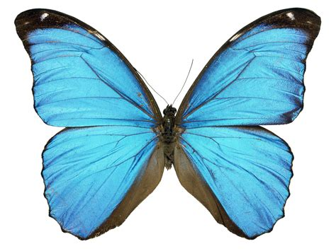 a butterfly scientist grows butterfly wing in laboratory the independent
