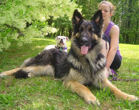 german shepherd shedding grooming and 3 usefil tips