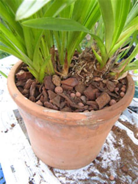 cymbidium cultiver et faire refleurir cette orchid 233 e