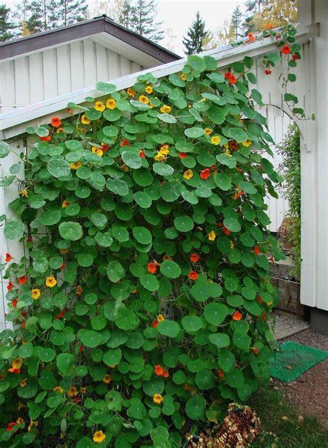 The 25+ Best Climbing Flowering Vines Ideas On Pinterest
