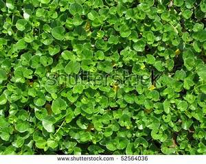 Beautiful Green Floating Water Lettuce Pistia Stock Photo ...