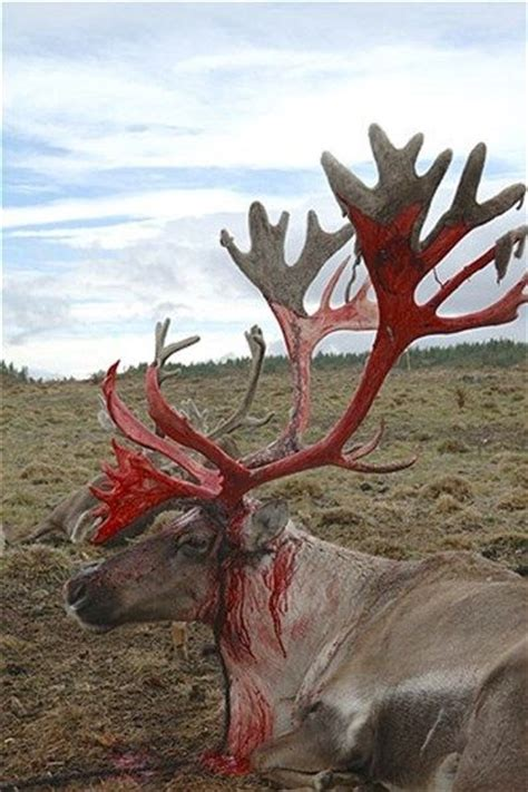 a reindeer buck who has locked horns with another