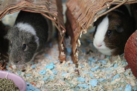 guinea pig resources