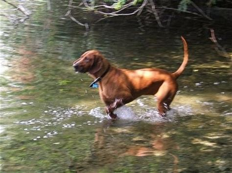 redbone coonhound dogs redbone coonhound breed info pictures breeds picture