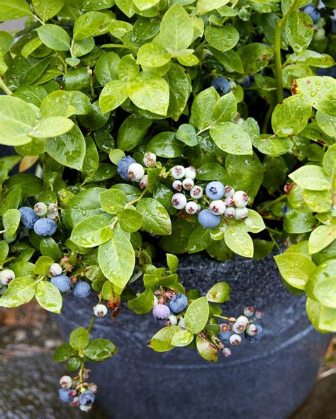 growing blueberries in containers garden tips