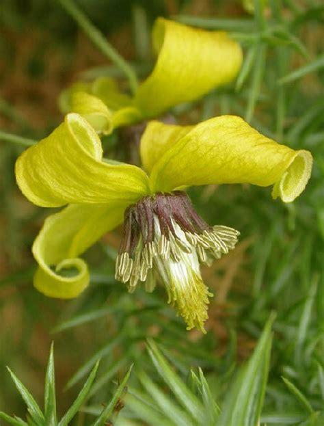 Buy 10pcs Yellow Clematis Seeds Perennials Flower Climbing