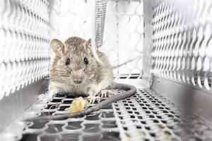 Mäuse Im Keller : ungebetene g ste im haus was hilft gegen m use ~ Markanthonyermac.com Haus und Dekorationen