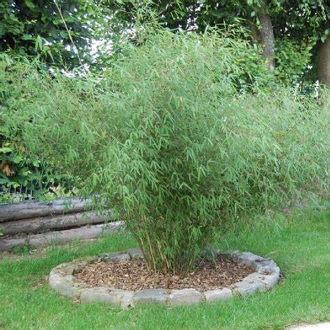 bambou non tra 231 ant en pot 7 litres 15 l 25 l etc plante ornementale plantes nature