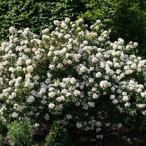 buy mexican orange blossom choisya 215 dewitteana aztec pearl delivery by waitrose garden in