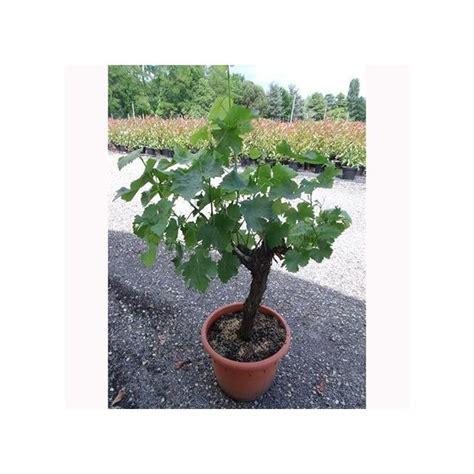 cep de vigne blanc plantes et jardins