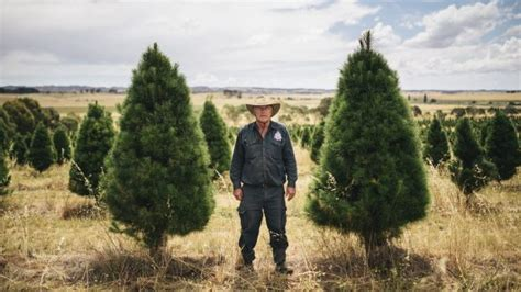 Canberra Pines For Real Christmas Trees