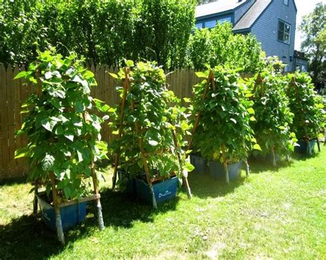 17 Best Climbing And Vining Vegetables For Containers You