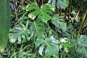 Große Zimmerpflanzen Pflegeleicht : gro e pflanzen in der wohnung schnell wachsende zimmerpflanzen ~ Markanthonyermac.com Haus und Dekorationen