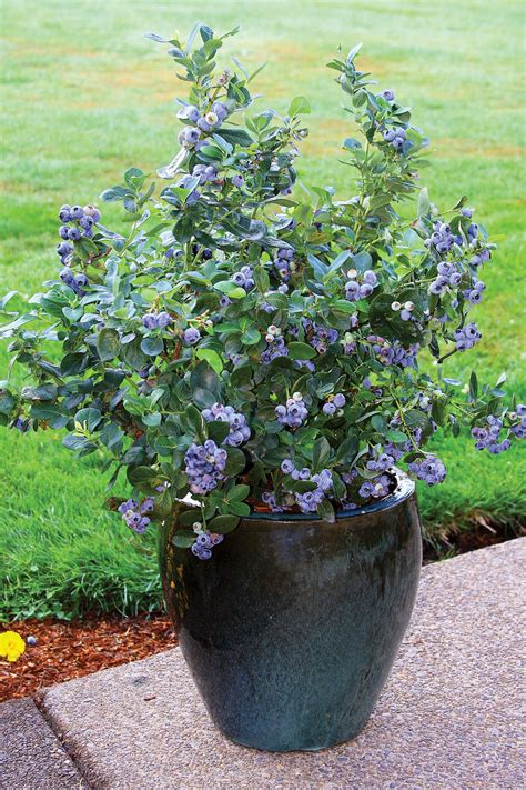 blueberry growing tips fall creek
