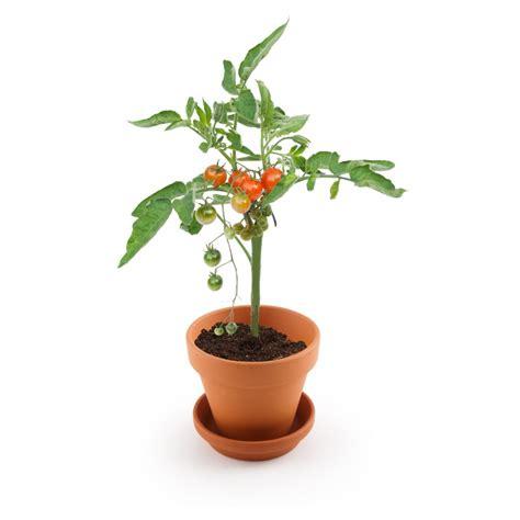 tomate cerise 224 semer explore nature
