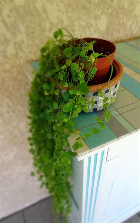 les 25 meilleures id 233 es de la cat 233 gorie plantes retombantes sur plante grimpante