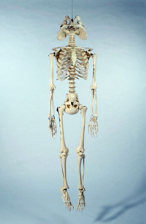 Anatomically Accurate Skeleton Of A Politician The Poke