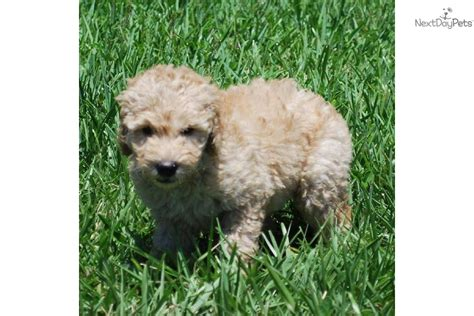 Non Shed Breeds Large by Teacup Non Shedding Breeds Breeds Picture
