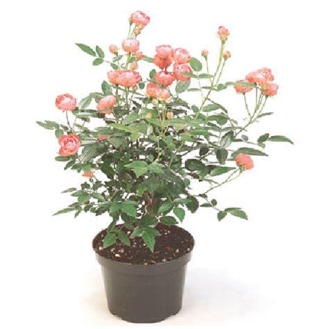 rosier en pot interieur