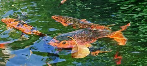 pourquoi les carpes koi sautent hors de l eau 187 jardins aquatiques