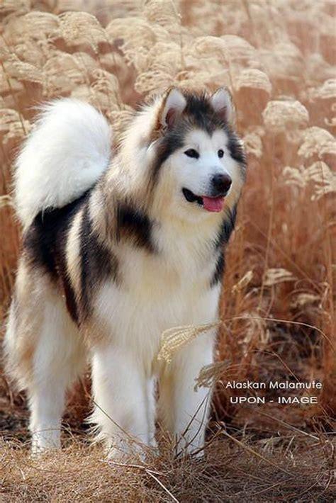25 best ideas about malamute husky on alaskan malamute alaskan husky and alaskan
