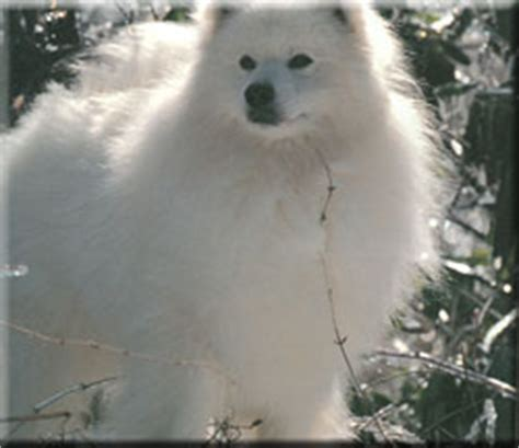 american eskimo breed information and pictures