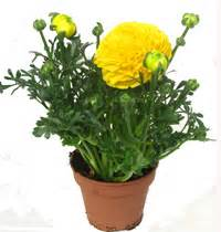 Sind Ranunkeln Winterhart : grabbepflanzung fr hling pflanzenset kreis kaufen im onlineshop grab selbst bepflanzen ~ Markanthonyermac.com Haus und Dekorationen
