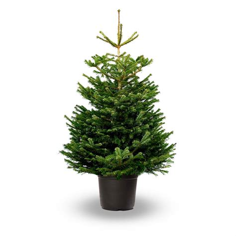 sapin de noel nordmann naturel en pot retrait drive