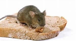Mäuse Im Keller : k der gegen die maus im haus industrieverband agrar ~ Markanthonyermac.com Haus und Dekorationen