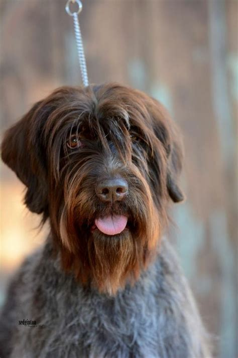 wirehaired pointing griffon fci 7 pointers