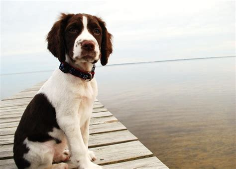 10 best springer spaniel names