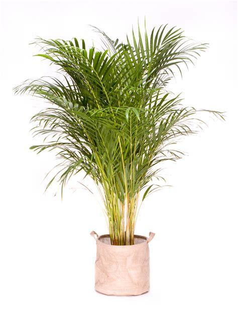 grande plante verte d int 233 rieur d 233 polluante areca 130 150 cm