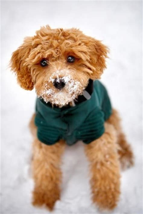 best 20 cocker spaniel poodle mix ideas on cocker poodle cocker spaniel poodle and