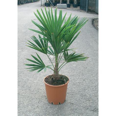 trachycarpus fortunei medipalm viveros