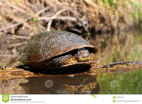 blandings turtle basking on log stock images image 25795494