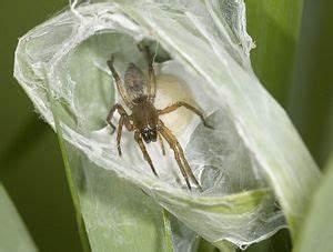 Spinnen Fernhalten Wohnung : lebenszyklus der spinnen wiki der arachnologischen gesellschaft e v ~ Whattoseeinmadrid.com Haus und Dekorationen