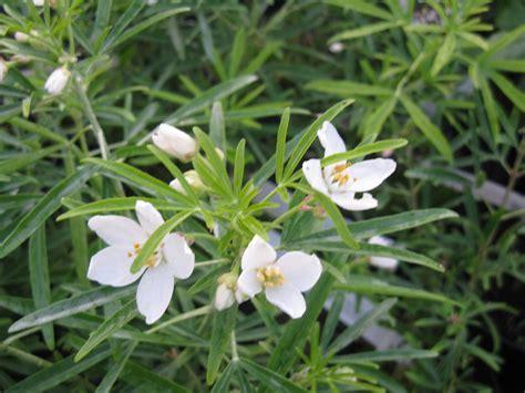 choisya aztec pearl botanicaplantnursery co uk