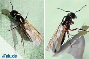Mittel Gegen Rote Ameisen : ameisen vernichten amazing ameise with ameisen vernichten excellent das einzig effektive ~ Whattoseeinmadrid.com Haus und Dekorationen