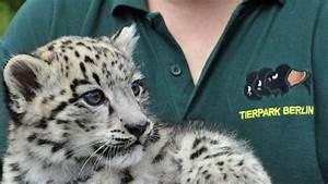 Was Wiegt Schnee : tierpark zeigt jungen schnee leoparden b z berlin ~ Whattoseeinmadrid.com Haus und Dekorationen