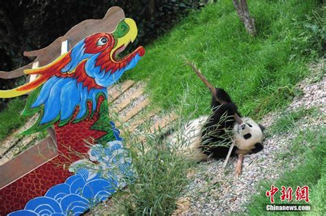 Row The Dragon Boat by Row Your Dragon Boat Pandas 4 Chinadaily Cn