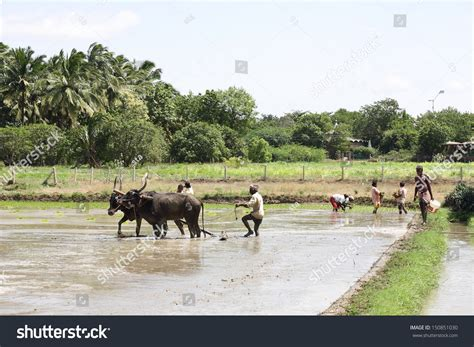 Kerala Indiaaugust 20farmers Plowing Agricultural Field
