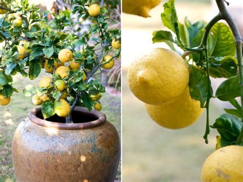 container gardening how to grow lemon fruit trees in containers