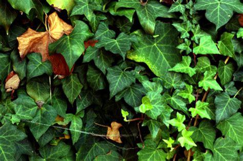 Evergreen Climbing Plants  Ehow Uk