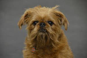 hypoallergenic dogs medium size top 10 grrr