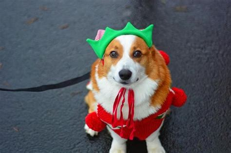 10 Times Corgi's Proved They Have Way More Holiday Spirit Than Us