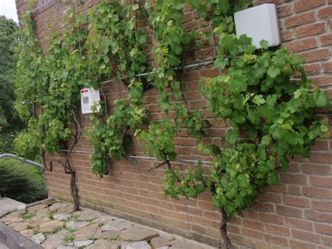 Supporting Climbing Plants On Walls  Peter Donegan