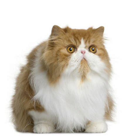 vente de chatons de race persan eleveurs