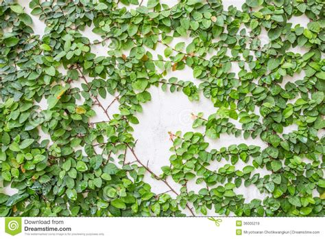 Climbing Fig Royalty Free Stock Images  Image 36005219