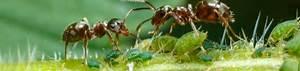 Mittel Gegen Rote Ameisen : ameisen mittel gegen ameisen ~ Whattoseeinmadrid.com Haus und Dekorationen