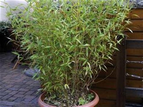 bambou cultiver et tailler ooreka